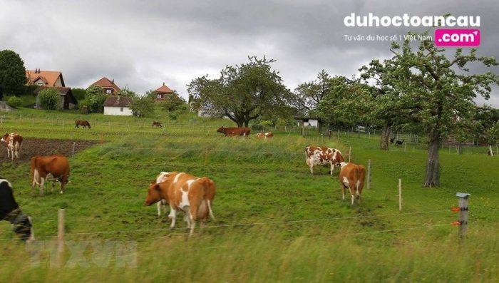 Những chú bò được thả tự do trên đường phố Thụy Sĩ sẽ khiến cho các bạn rất kinh ngạc đó